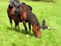 Sudeten mit dem Pferd bezwingen ? Wanderritte auf ruhigen Huzulenpferden ins Riesen- & Isergebirge