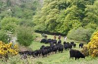 Dartmoor Reiterferien und  Dartmoor Cattle Drives in Devon England