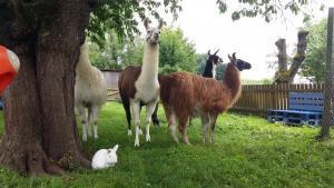 Wandern mit unseren Lamas