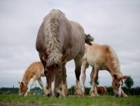 Trekpaardenwereld: Reiterferien in Oostburg an der Nordsee nahe am Meer. Bauernhofcamping