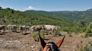 Freilebende Rinder auf dem Trailritt