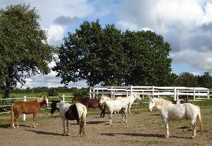 Die Ponys genießen die Morgensonne