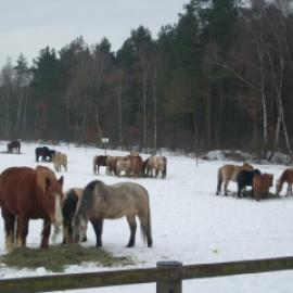 Pferde fühlen sich auch im Schnee wohl