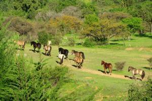 Freundliche und gut ausgebildete Criollo Pferde