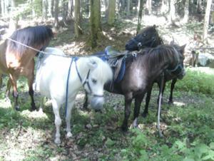 Kurze Pause beim Ausritt im Wald für die Pferde