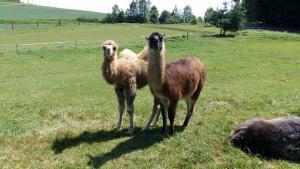 Kamelfohlen mit Lamafreund