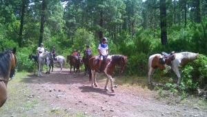 Ausritt in den Kiefernwald mit braven Pferden